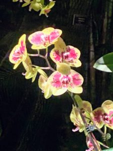 Phalaenopsis 'Lioulin Peacock' is an orchid hybrid originated by Huang Gao Ming in 2006. It is a cross of Phalaenopsis Taida Salu x Phalaenopsis Tai-I Yellow Bird.