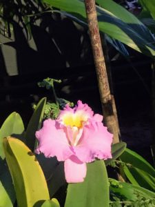 Cattleya 'Calm Seas' prefer to dry out between waterings, and should not be watered more than once a week.
