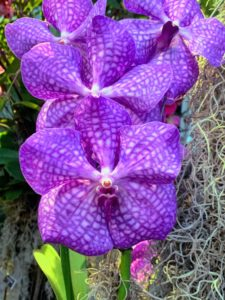 This purple-blue orchid is called Vanda 'Royal Blue'. Vanda orchids produce some of the more stunning blooms in the genera. This group of orchids is heat-loving and native to tropical Asia. In their native habitat, vanda orchid plants hang from trees in nearly soilless media, so it is important to mimic these conditions as much as possible when growing them.