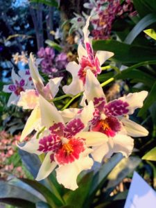 This is Shunkeara Big Shot 'Hilo Sparkle.' This plant produces multiple two-inch blooms that last two to three weeks at a time.