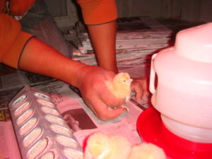 Each and every chick is given water and shown the food.