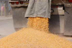 Unloading beautiful organic corn