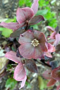 'HGC Pink Frost' starts out as deep burgundy, but then opens to soft pink and ages to earthy shades of rose. Here, the flowers rise above the foliage and face outward.