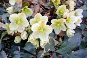 Given the right conditions, hellebores will spread nicely in the garden and look beautiful through the season. What hellebores do you grow? Share them with me in the comments section below. Also let me know what else you'd like me to cover on my blog, especially during this time. And be sure to check out my Instagram page @MarthaStewart48 for more photos, tips, and inspirations. Wherever you live, I hope you are able to enjoy some of the colors of spring - stay safe.