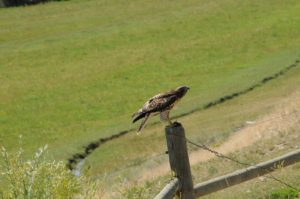 It landed again on a fence post with its prey.