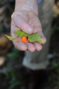 We have not yet identified this berry - the plant looks like a bunchberry.