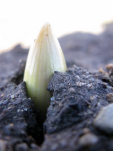 This is an allium breaking through the soil in the new allium border, planted last autumn.