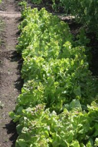 In the vegetable garden, this row of leaf lettuce has begun to bolt, due to the intense heat.  It will be picked and given to the chickens.