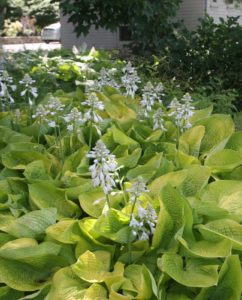 All of the hostas are in bloom.