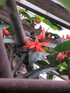 There were many buds on this beautiful Passionflower.