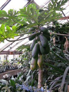 Byron and Laurelynn are in the process of writing a book about growing tropical fruits.  Here is a beautiful papaya.