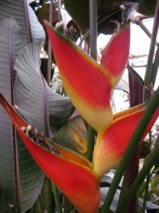 This is a vibrant Heliconia, or Lobster Claws - Shaun had not seen one of these since a trip to Panama in 2008.