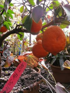 Logee's grows so many varieties of citrus.