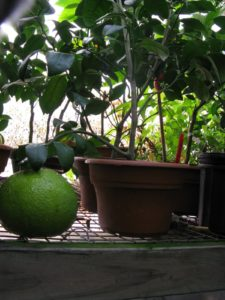 This huge fruit growing on a very small branch is an 'Orange of Seville.'