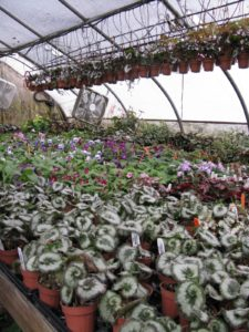 This house has many varieties of begonias and streptocarpus.