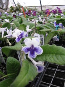 Streptocarpus 'Purple Panda' - Streptocarpus like to dry out between waterings.