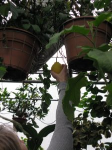 Logee's even grows citrus in hanging containers, including my favorite Meyer lemon.