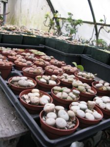 Lithops, or living stones - these small, button shaped succulents only need to be watered 4 times a year!