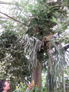 This is a huge Staghorn fern that looks quite at home growing on the trunk of this Acacia.