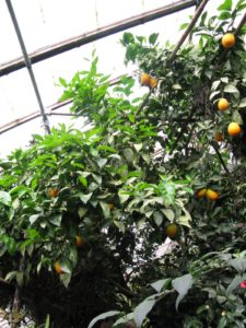 One of Byron and Laurelynn's major interests is citrus and can be found throughout their greenhouses.