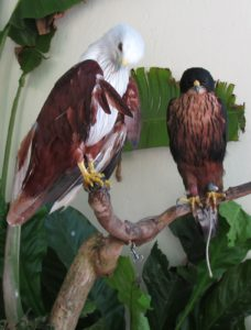 An eagle and a falcon comfortably perched side by side