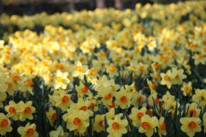 Daffodils make me so happy.