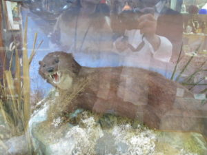 I collect old taxidermy and this river otter caught my eye at Wertz - it was a little mangy, however.