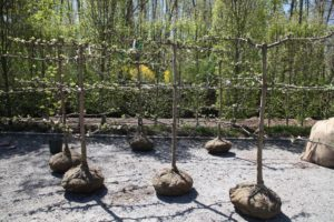 I recently purchased six Gravenstein apple espalier trees.  They are approximately six-years old.