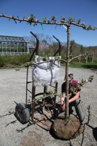 Meanwhile, Shaun begins moving the new apple trees using a ball cart hand truck.