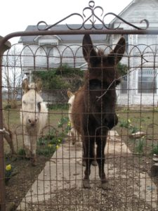 The donkeys were very friendly, just like the three I own.