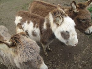 The young donkeys are quite hairy from the cold winter.