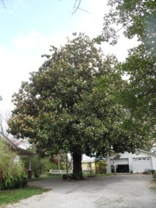 Don's antebellum home has one great tree - a magnolia grandiflora of great size.