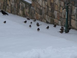 Crows, juncos, and chickadees