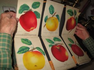 This is Don's father's salesman book.  He grew and sold apple and other fruit trees in Mississippi and these hand painted illustrations were what he showed prospective growers.