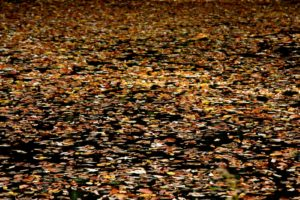 A year ago, my little bass pond was covered with colorful fallen leaves.