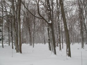 The woods look quiet and serene in the snow.