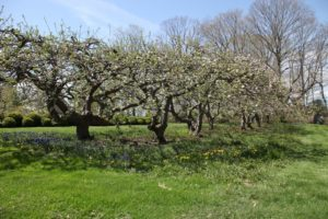 This is a fine example of what happens when espalier apple trees are not tended to.  This stand of trees, at my farm, is very old.