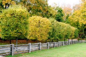 The allay of linden trees were yellowing brightly last year.