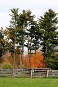 Last year, the trees beyond this stand of white pines were amazing.