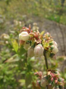 The blueberry patch is laden with blooms.