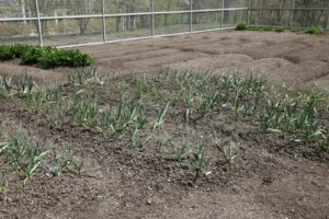 The garlic planted last autumn is growing very well.