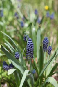 More muscari in the woodland - this one is a darker shade of purple.