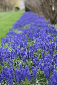 This is an amazing bed of muscari.
