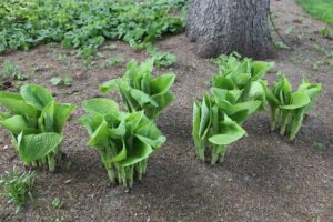 These giant hosta are also multiplying.