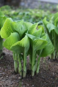 The structure of hosta leaves is so intriguing.  These look tufted and quilted.