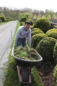 The crew is busy edging the boxwood allee.  Chhewang picks up the excess.