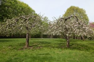 Here are two apple trees in full bloom.