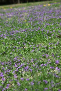 The violets out by the pond are quite plentiful this year.