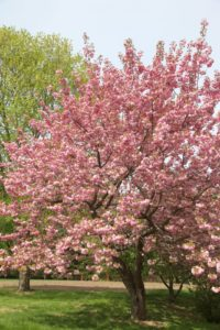 A spectacular Kwanzan cherry tree