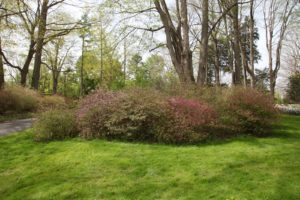The azalea grove is about to burst.